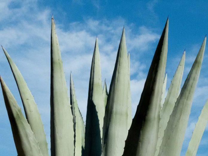 Aloe Vera plantage Aruba bezienswaardigheden