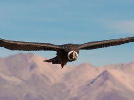 Condors in de Colca Canyon Peru