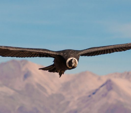 Condors in de Colca Canyon Peru