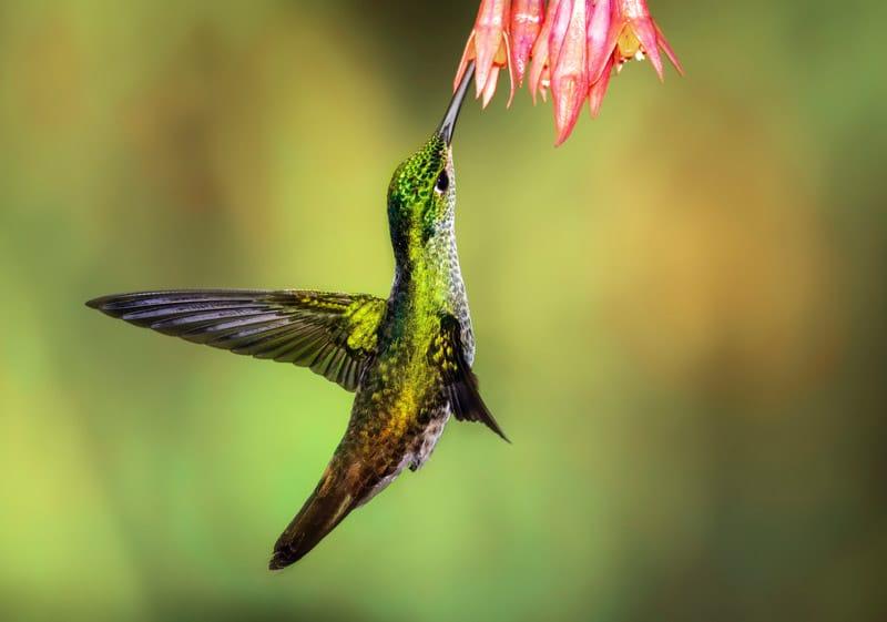 Kolibri in vogeldorp Mindo Ecuador bezienswaardigheden