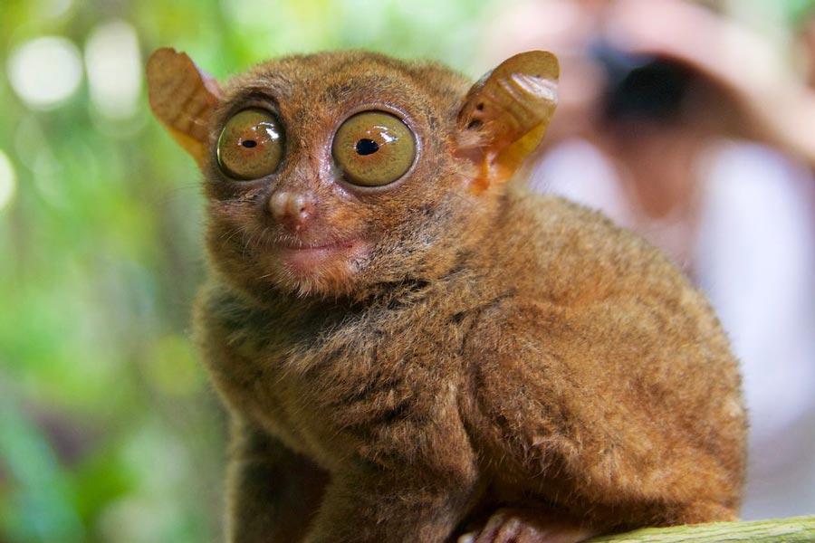 spookdiertje Filipijnen eilanden