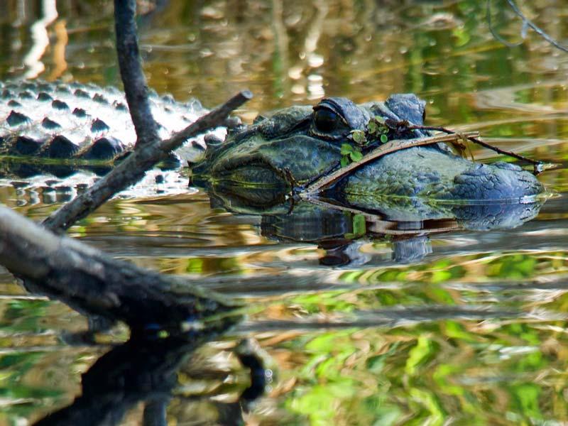 Amerikaanse krokodillen Florida rondreis