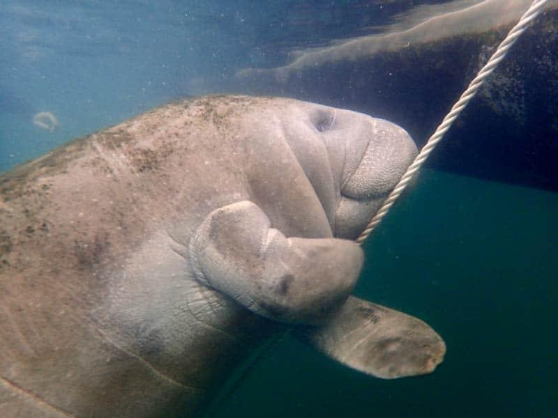 Florida rondreis Snorkelen zeekoe