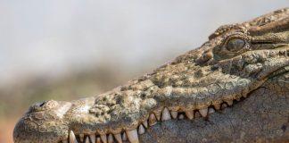 Florida rondreis snorkelen met alligator