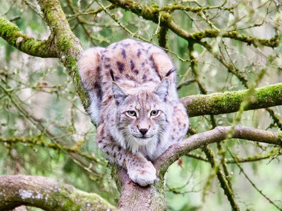 Wilde kat Grotten van han