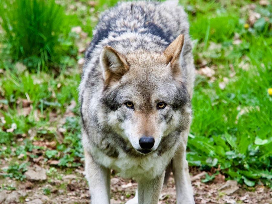Wolf bij Grotten Han