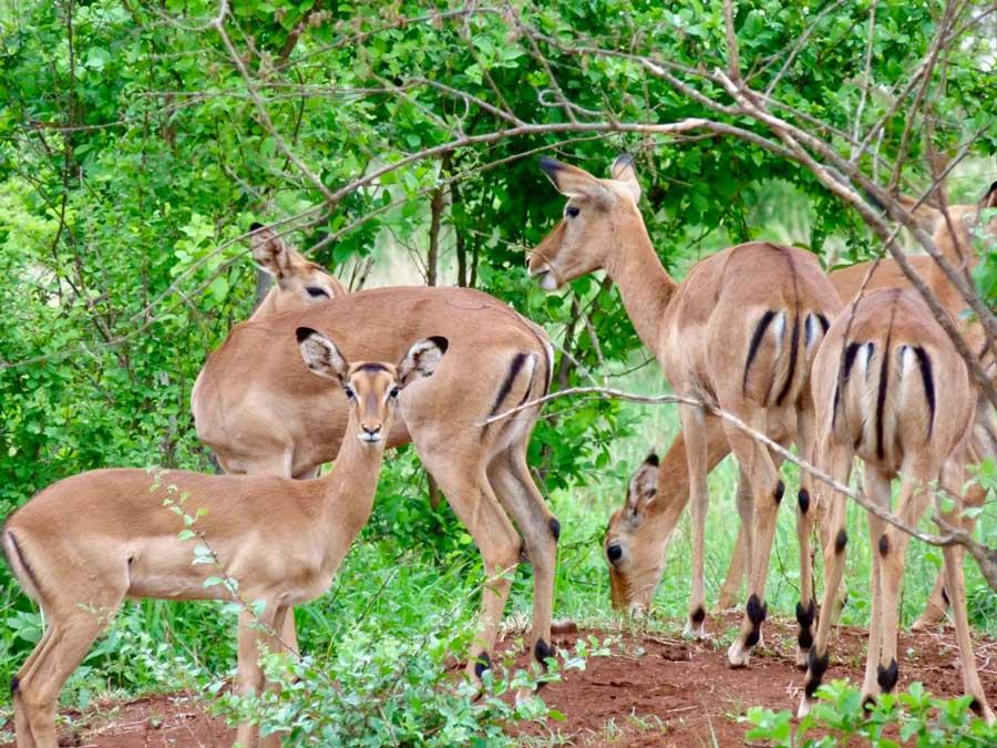 Kenia safari impala