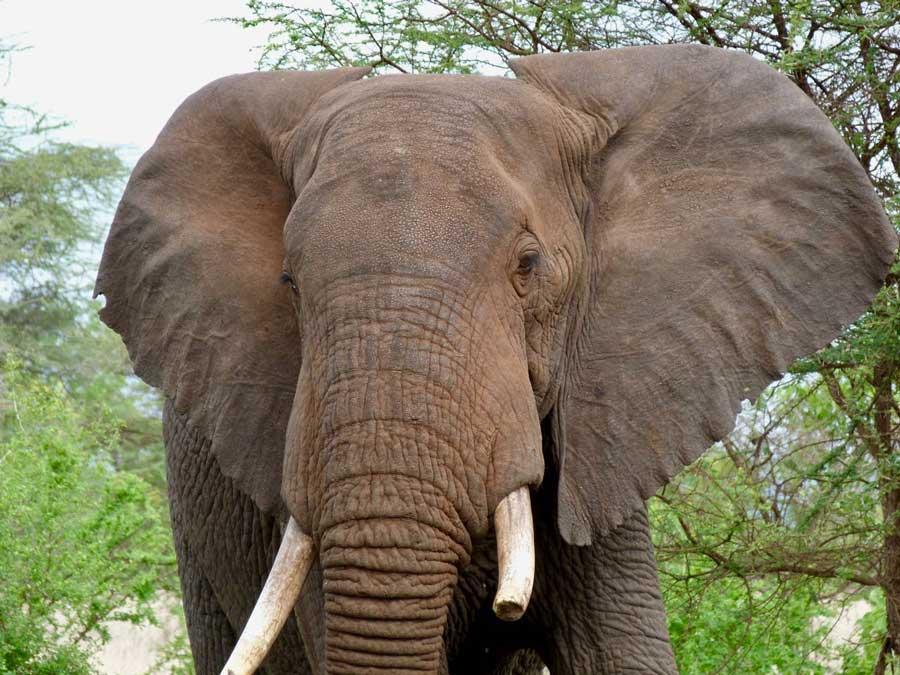 Kenia safari mannetjes olifant