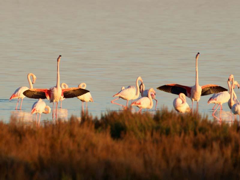 waarom zijn flamingos in Languedoc-Roussillon roze