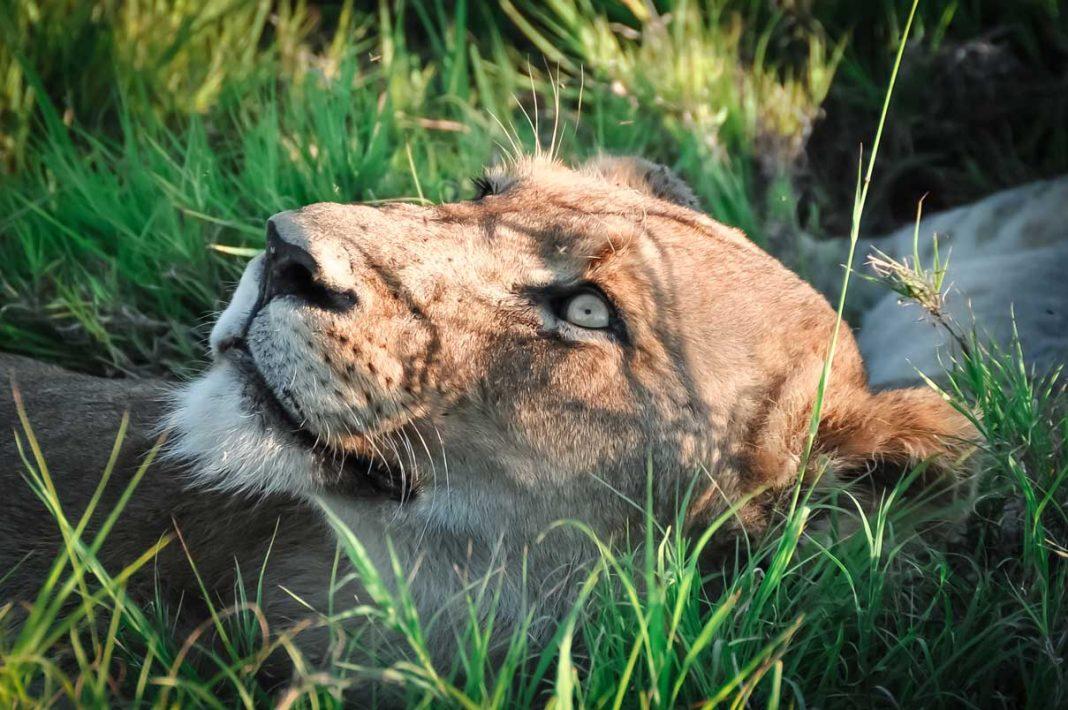 Leeuw Krugerpark Afrika