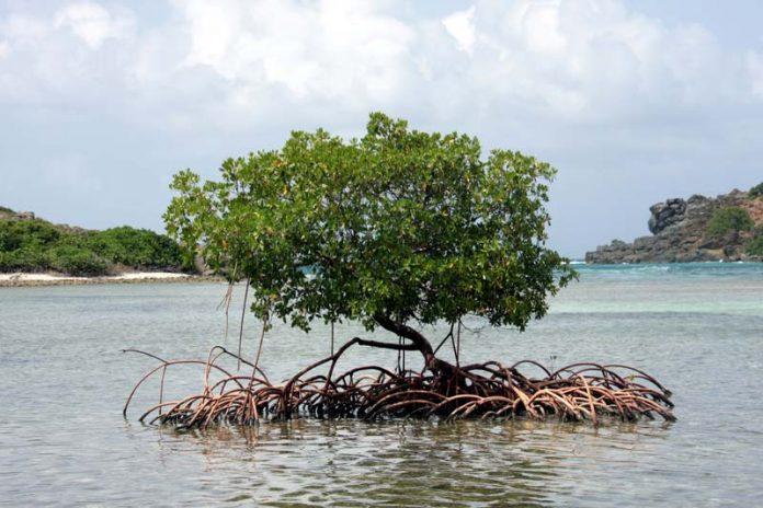 mangrove bossen bonaire abc eilanden