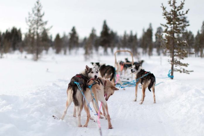 lapland finland husky tocht slee