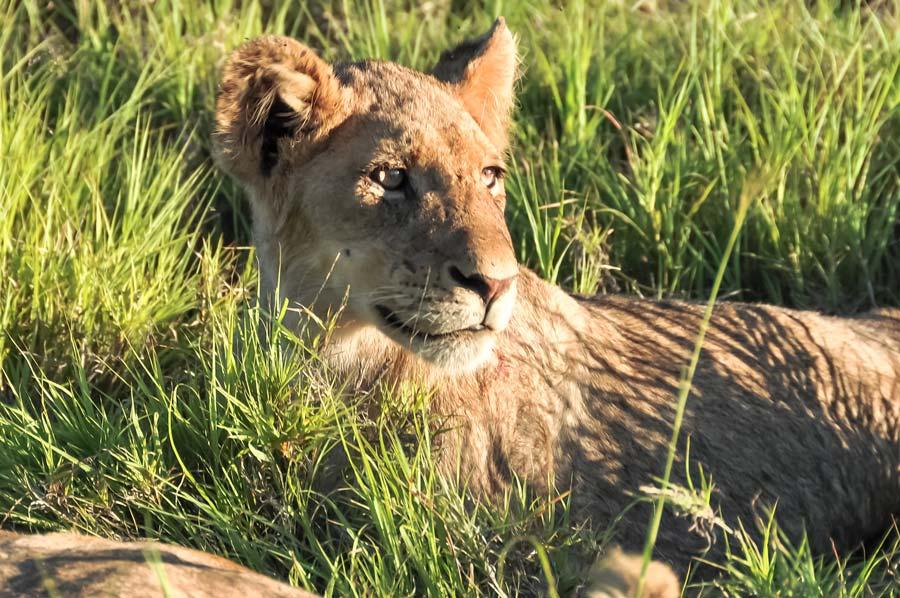 leeuwenwelp Krugerpark