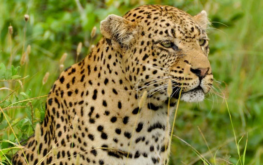 Krugerpark luipaard