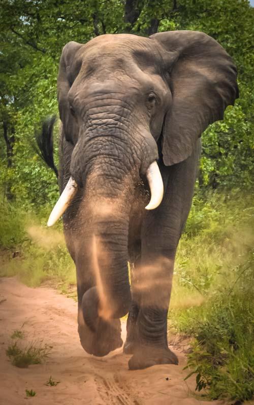 Krugerpark olifant