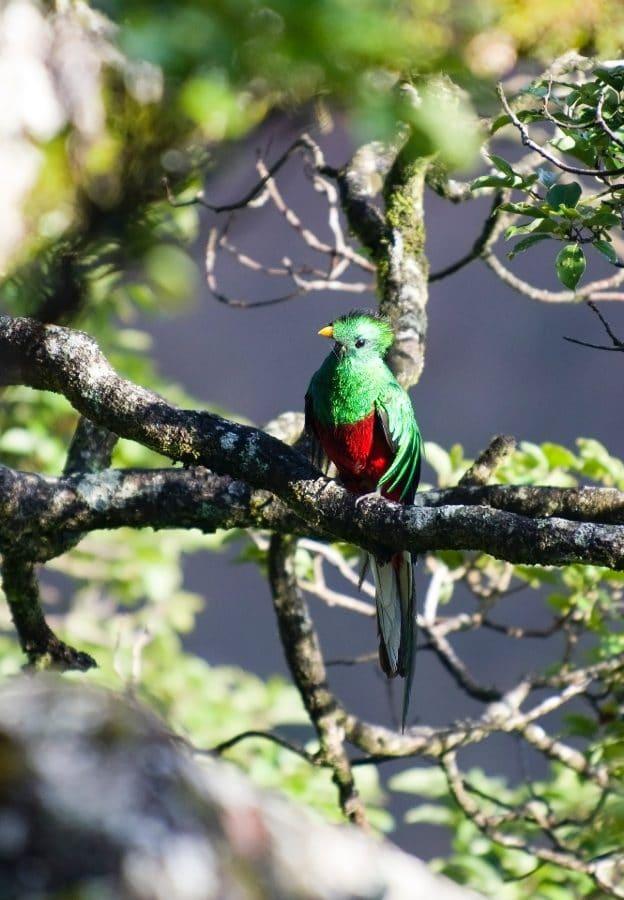 Costa Rica Monteverde quetzal
