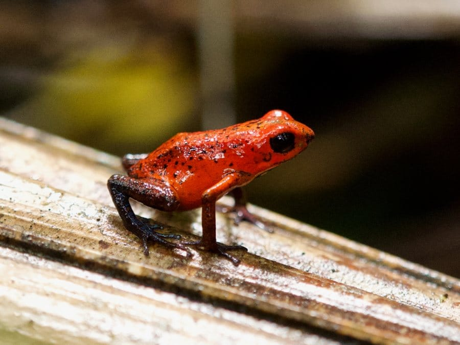 Costa Rica natuur aardbeikikker