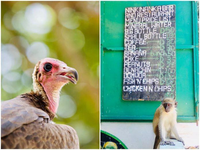 Geweldig Gambia wildlife spotten Abuko