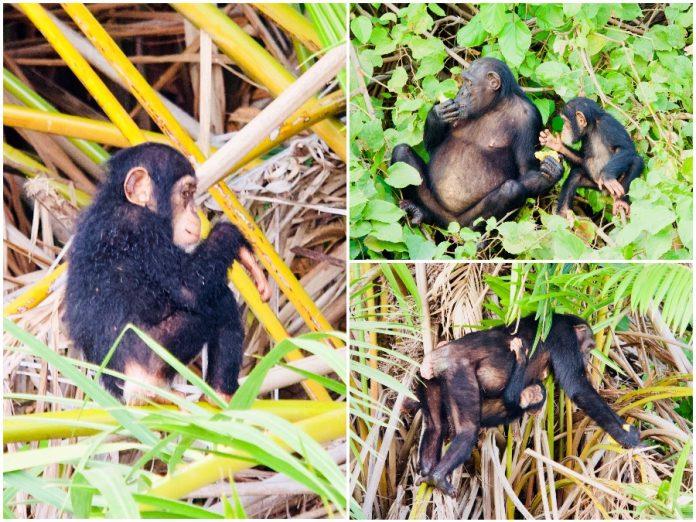 Geweldig Gambia wildlife spotten chimpansees