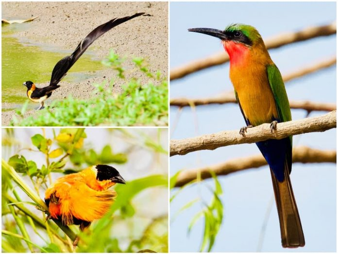 Gambia wildlife vogels