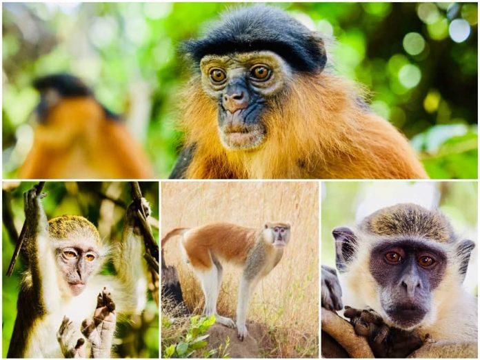 Vakantie naar Gambia apen klein